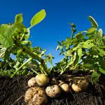 Картофель - признаки нехватки микроэлементов
