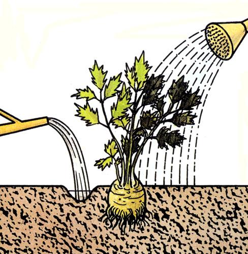 Жидкие подкормки для картофеля вносят под корень
