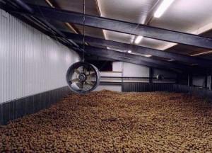 Раскладываем картофель в сухом, темном помещении