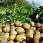 Как получить два урожая картофеля за сезон?